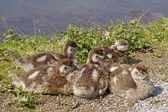 Young Egyptian Gooses (Alopochen aegytiacus) in spring, Germany, Europe — Zdjęcie stockowe