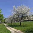 Footpath with cherry trees in Hagen, Lower Saxony, Germany, Europe — Stock Photo #8960788