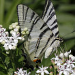 Scarce Swallowtail butterfly in summer, Iphiclides podalirius , Europe — Stock Photo #8961162