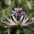 Iphiclides podalirius, Scarce Swallowtail butterfly in summer, Italy — Stock Photo #8961176