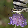 Iphiclides podalirius, Scarce Swallowtail sitting on Scabious flower — Stock Photo #8961193