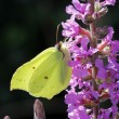 Stock Photo: Common Brimstone (Gonepteryx rhamni) on Purple loosestrife