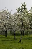 Cerezos en primavera, niedersachsen, alemania — Foto de Stock