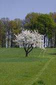 Wiśniowe drzewo na wiosnę, hagen, Dolna Saksonia, Niemcy, Europa — Zdjęcie stockowe