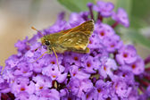 Ochlodes venatus, Large skipper butterfly — Stock Photo