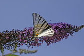 Scarce Swallowtail butterfly in summer, Iphiclides podalirius, Italy — Stock Photo