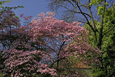 Dogwood tree with pink blossoms, Cornus florida Rubra, Germany, Europe — Stock Photo