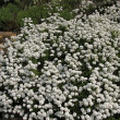 Stock Photo: Iberis sempervirens, Perennial candytuft, Evergreen candytuft
