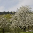 Cherry trees in spring, Hagen, Lower Saxony, Germany, Europe — Stock Photo #9004302