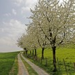 Footpath with cherry trees in Hagen, Lower Saxony, Germany, Europe - Stock Photo