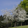 Cherry trees in spring, Hagen, Lower Saxony, Germany, Europe — Stock Photo #9005199