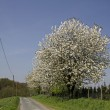 Cherry trees in spring, Hagen, Lower Saxony, Germany, Europe — Stock Photo