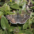 Stock Photo: Pyrgus, Skipper butterfly from Italy, Europe