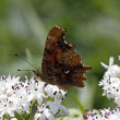 Постер, плакат: Comma butterfly Nymphalis c album Polygonia c album on dwarf elder