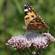 Vanesscardui, Cynthicardui, Painted Lady butterfly on Hemp-agrimony — Stock Photo #9005966