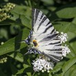 Scarce Swallowtail butterfly in summer, Iphiclides podalirius — Stock Photo #9006179