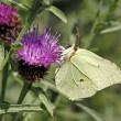 Stock Photo: Common Brimstone (Gonepteryx rhamni) on Knapweed in Germany, Europe