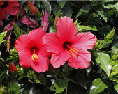 Rose-mallow, Hibiscus rosa-sinensis, Shoe flower, China Rose — Stock Photo