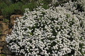 Iberis sempervirens, Perennial candytuft, Evergreen candytuft — Stock Photo