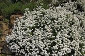 Iberis sempervirens, Perennial candytuft, Evergreen candytuft — Stock Photo