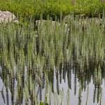 Hippuris vulgaris, Common Mares tail, Horsetail — Stock Photo #9055330