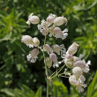 Silene vulgaris, Bladder campion in Germany, Europe — Stock Photo #9055431
