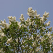 Syringa vulgaris - Common Lilac in Germany, Europe — Stock Photo