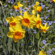 Lent lilies, Daffodils with and Forget-me-not in spring, Germany, Europe — Stock Photo