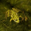 Rana esculenta - Edible frog in Germany, Europe — Stock Photo
