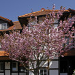 Half-timbered house with japanese cherry tree in Hagen a.T.W., Germany — Stock Photo