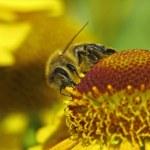 Western honey bee, European honey bee (Apis mellifica) on Helenium hybrid — Stock Photo