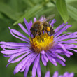 European honey bee on New England Aster in Germany (Aster novae-angliae) — Stock Photo