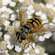 Myathropa florea, Syrphid fly on yarrow bloom (Achillea) in Germany, Europe - Lizenzfreies Foto