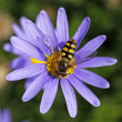 Eupeodes corollae, Metasyrphus corollae, Hoverfly on Blue Marguerite — Stock Photo