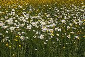 Leucanthemum vulgare - Oxeye daisy on a meadow in spring in Germany, Europe — Stock Photo
