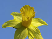 Single flower of a daffodil in spring, Germany, Europe — Stock Photo
