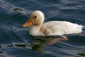 Little domestic duck (Anas platyrhynchos) — Stock Photo