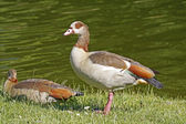 Egyptian Goose (Alopochen aegytiacus) at a little pond,in Germany — Stock Photo