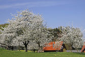 Spring landscape for the cherry blossom with farm in Hagen a.T.W., Germany — Stock Photo