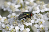 Green bottle fly (Lucilia sericata) on Yarrow (Achillea — Stock Photo