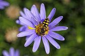 Eupeodes corollae, Metasyrphus corollae, Hoverfly on Blue Marguerite — Stock Photo