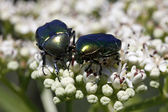 Rose chafer (Cetonia aurata) on a dwarf elder blossom in Italy, Europe — Stock Photo