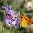Skipper butterfly on Scabious bloom in Italy, Europe — Stock Photo