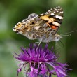 Painted Lady butterfly (Cynthia cardui, Vanessa cardui) on Knapweed flower, — Stock Photo #9167098