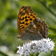 Постер, плакат: Silver washed fritillary Argynnis paphia on dwarf elder