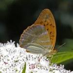 ������, ������: Silver washed fritillary Argynnis paphia on dwarf elder Sambuculus