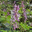 Photo: Corydalis cava, Corydalis flower, Fumewort