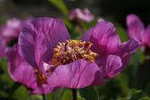 巴尔干牡丹野生牡丹、 芍药 mascula — 图库照片