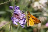 Mariposa patrón en floración escabiosa en italia, europa — Foto de Stock
