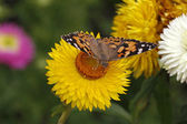 Painted Lady butterfly (Vanessa cardui) on Golden Everlasting — Stock Photo
